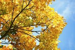 Branches avec les feuilles jaunes et le ciel bleu Photographie stock