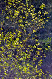 Branches avec les feuilles lumineuses sur le fond foncé Backlite image stock