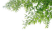 Branches of a bamboo. Royalty Free Stock Images