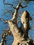 Branches of Baobab tree Royalty Free Stock Photos