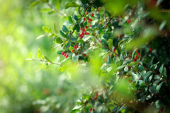 Branches of barberries in summer Stock Photo