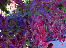 The branches of barberry Royalty Free Stock Images