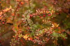 A branches of barberry selective focus. Nature background Stock Photo