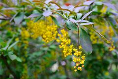 Branches of barberry with yellow bright flowers Royalty Free Stock Photos