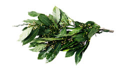 Branches of bay laurel leaves Royalty Free Stock Photos