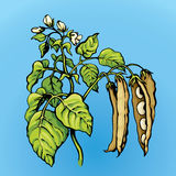 Branches beans. Vector drawing Royalty Free Stock Photo