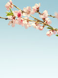 Branches with beautiful pink flowers (Peach) against the blue sky. Royalty Free Stock Photography
