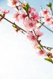 Branches with beautiful pink flowers. Stock Image