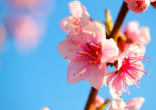 Branches with beautiful pink flowers (Peach) against the blue sky. Selective Focus. Peach blossom in the sunny Royalty Free Stock Image