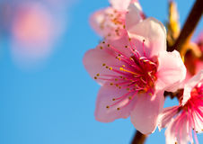 Branches with beautiful pink flowers (Peach) against the blue sky. Selective Focus. Peach blossom in the sunny Stock Photography