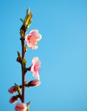 Branches with beautiful pink flowers (Peach) against the blue sky. Selective Focus. Peach blossom in the sunny day. Royalty Free Stock Photos