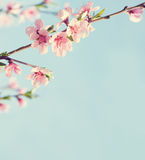 Branches with beautiful pink flowers Peach against the blue sky. Stock Image