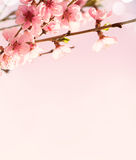 Branches with beautiful pink flowers (Peach) on  pink background . Stock Photo