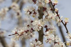 Branches of a beautifully flowering fruit tree royalty free stock photography