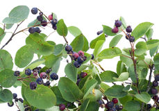 Branches  and berries Royalty Free Stock Photography