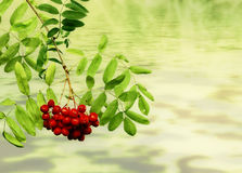Branches with berries. Braches with berries of a rowan tree against an abstract background Stock Photos