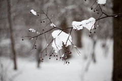 Branches with berries and leaves full of hoarfrost Royalty Free Stock Images