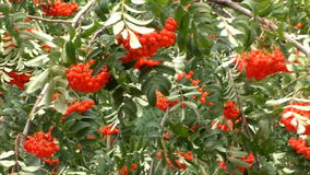 Branches with berries of a red mountain ash stock video