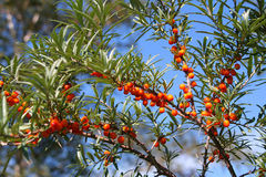 Branches with a berry sea-buckthorn berries. Against the dark blue sky Stock Photography