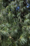 Branches of Bhutan pine Royalty Free Stock Photography