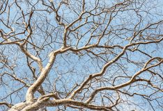 Branches of big lonely dead tree without leaves Stock Photo