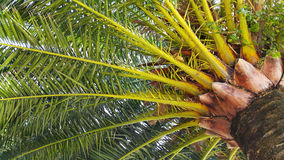 Branches of big palm tree Royalty Free Stock Photography