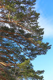 Branches of big pine Stock Photography