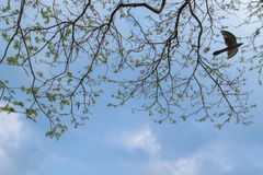 Branches of big Rain tree against blue sky with female Asian Koe Stock Photo