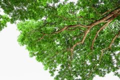 Branches of big tree, old tree with green spring leaves. Refresh Royalty Free Stock Image