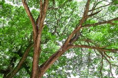 Branches of big tree, old tree with green spring leaves. Refresh Royalty Free Stock Photography