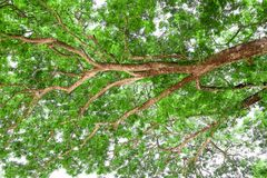 Branches of big tree, old tree with green spring leaves. Refresh Royalty Free Stock Photos