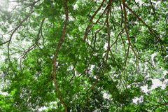 Branches of big tree, old tree with green spring leaves. Refresh Stock Photo