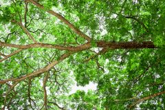 Branches of big tree, old tree with green spring leaves. Refresh Stock Photos