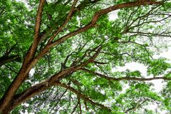 Branches of big tree, old tree with green spring leaves. Refresh Royalty Free Stock Photo