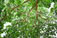 Branches of big tree, old tree with green spring leaves. Refresh Stock Image