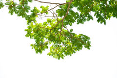 Branches of big tree in white background Stock Image