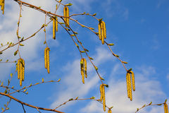 Branches of the birch with catkin Stock Photos