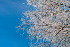 Branches of birch covered with hoarfrost Stock Photography
