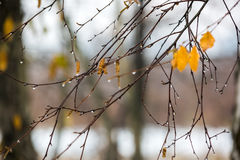 Branches of birch with earrings in raindrops in late autumn. Branches of birch with earrings in raindrops on a background of the sky and the forest in late Royalty Free Stock Image