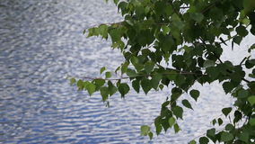 Branches of a birch hang over water. The leaves sway in the wind, tree branches over water stock footage