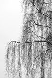 Branches of birch tree Stock Photography