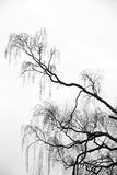 Branches of birch tree Stock Images