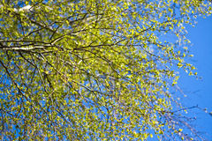 The branches of a birch tree with blossoming leaves. Against the blue sky royalty free stock image