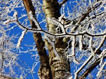 Branches of a birch tree covered with hoarfrost in the winter. stock image