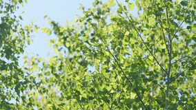 Branches of birch tree moving in the wind. Blurred abstract bokeh with sun flare. Birch tree. Nature background.