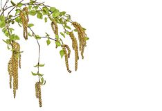 Birch twigs with young spring leaves and seeds isolated on white background. Branches of birch tree with young spring leaves and earrings close up, isolated on stock photos