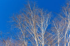 Branches of birch trees Royalty Free Stock Images