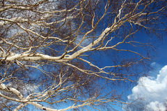 Branches of birch trees, from the etna volcano Stock Photo