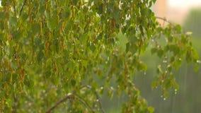 Branches a birch under a summer rain.  stock video