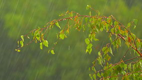 Branches a birch under a summer rain stock video